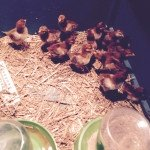 Live Chickens for sales at Yorktown Feed Seed 'N More